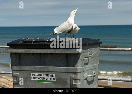 Herring Gulls on a refuse container on the beachfront at Aberdeen Scotland - Stock Photo