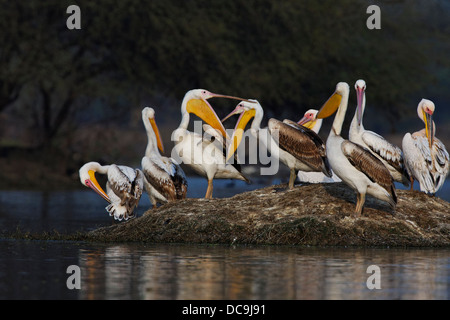Great White Pelicans ( Pelecanus onocrotalus ) India. - Stock Photo