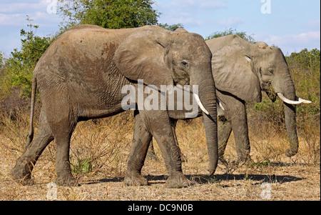 Loxodonta africana; Elephants at South Luangwa National Park, Zambia - Stock Photo