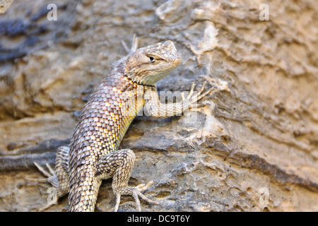 Grand Canyon National Park, Arizona. Plateau Fence Lizard (Sceloporus tristichus) - Stock Photo