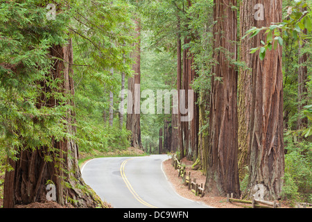 USA, California. View of road through redwoods in Big Basin Redwoods State Park. - Stock Photo