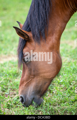 Closeup head of chestnut horse eating young grass - Stock Photo