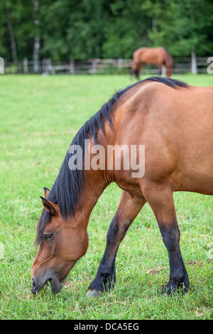 Beautiful horse grazing on field in summer - Stock Photo