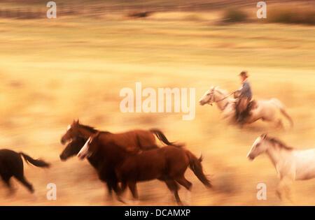 Wild Mustangs (Equus caballus). Oregon. USA. - Stock Photo