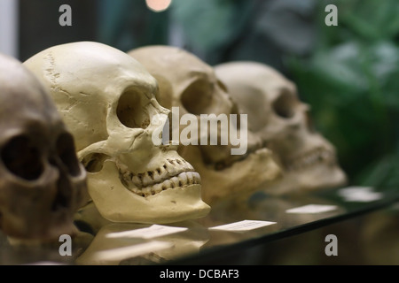 Human skulls standing on the glass shelf - Stock Photo