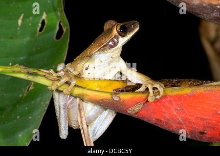 Broad Headed Treefrog (Osteocephalus planiceps) on a red heliconia bract in the Ecuadorian Amazon - Stock Photo