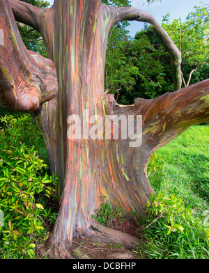 Rainbow Eucalyptus Tree  (Eucalyptus Deglupta) - Stock Photo