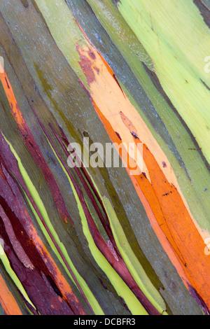 Bark of the Rainbow Eucalyptus (Eucalyptus Deglupta) - Stock Photo