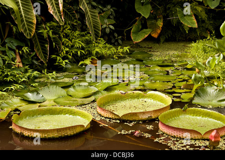 Clusters of the Victoria Longwood Hybrid Nymphaeacaea water lily inside the Dundee Botanic Gardens,UK - Stock Photo