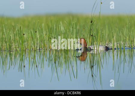 Common pochard Aythya ferina, adult male, swimming in marsh, Tiszaalpár, Hungary in June. - Stock Photo