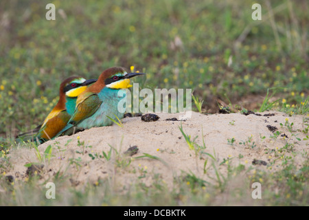 European bee-eater Merops apiaster, adult pair together at nesting hole on ground, Lakitelek, Hungary in June. - Stock Photo