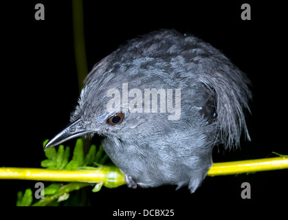 Unidentified bird roosting at night in the rainforest understory, Ecuador - Stock Photo