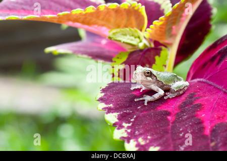 Gray Treefrog climbing on Coleus - Stock Photo