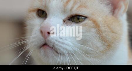 An approximately 12-year-old male cat (R) sits on a bench of the cat facility of the animal protection associaton - Stock Photo