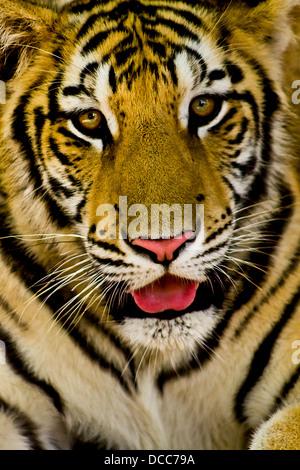Bengal Tiger Looking to the camera, photo taken at the zoo, (Centenario) Merida, Yucatan Mexico
