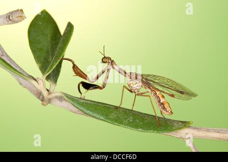 Steirische Fanghaft, Mantispa styriaca, syn. Poda pagana, syn. Mantispa pagana, mantidfly, mantis fly, mantispid