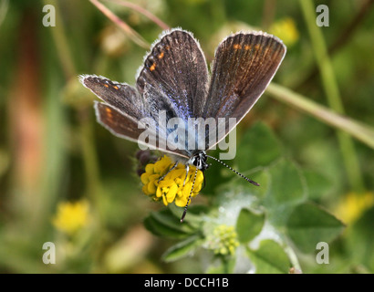 Detailed macro image of  a female Common Blue (Polyommatus icarus) butterfly posing with wings opened - Stock Photo