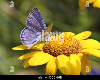 Detailed macro image of  male Common Blue (Polyommatus icarus) butterfly - Stock Photo