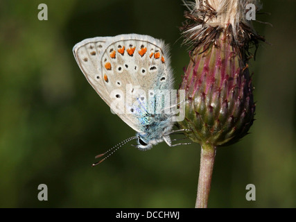 Detailed macro image of a female Common Blue (Polyommatus icarus) butterfly - Stock Photo