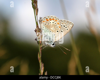 Detailed macro image of  male Common Blue (Polyommatus icarus) butterfly in profile against a blue sky - Stock Photo