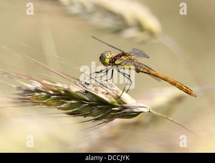 Female Vagrant Darter (Sympetrum vulgatum) dragonfly posing in a corn field on wheat - Stock Photo