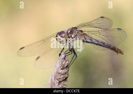 Male Vagrant Darter (Sympetrum vulgatum) dragonfly - Stock Photo