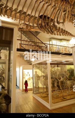 Mammal skeletons, Museum of Natural History, Harvard University, Cambridge, Massachusetts, USA - Stock Photo