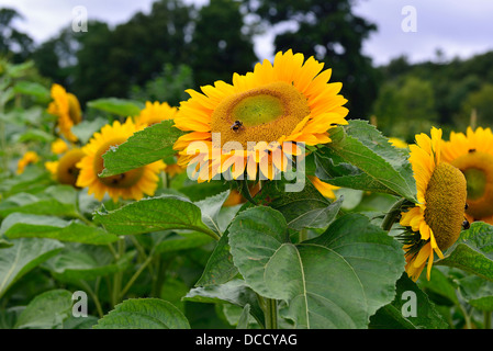 Bumble bees collecting pollen from Sunflower  in a garden - Stock Photo