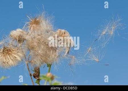 Acker-Kratzdistel, Ackerkratzdistel, Kratzdistel, Samen, fruit, Distel, Cirsium arvense, Creeping thistle, Canada - Stock Photo