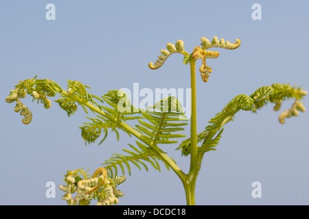 Adlerfarn, Adler-Farn, Pteridium aquilinum, brake, common bracken, eagle fern - Stock Photo