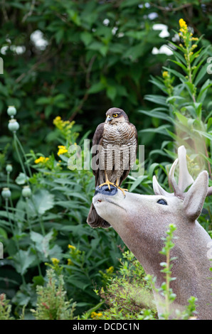 Sparrowhawk Accipiter nisus in Garden Environment Perched on a Ornamental Stags Nose England UK - Stock Photo