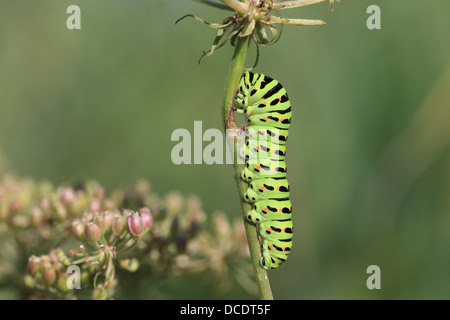 Swallowtail (Papilio machaon) - Stock Photo