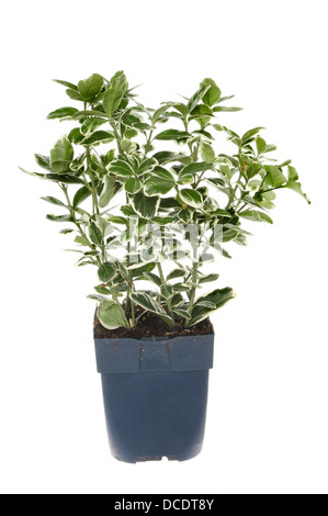 Euonymus, evergreen shrub with dark green leaves with cream edges in a pot isolated against white - Stock Photo