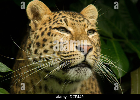 North Chinese Leopard looking out from undergrowth - Stock Photo