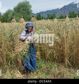 China, Xizang, Tibet, Lhasa, Woman Gathering Wheat In Field - Stock Photo