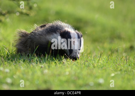 Eurasian badger meles meles in the english countryside landscape - Stock Photo