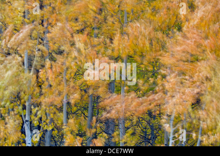 Aspen trees and leaves blowing in the wind, Bishop Creek Canyon, Eastern Sierra, California Stock Photo