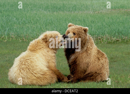 Brown bear yearling cubs playing in sedge meadow at Hallo Bay, Katmai National Park, Alaska - Stock Photo