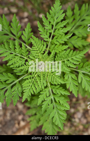 Annual Ragweed, Common Ragweed, Ambrosie, Beifußblättriges Traubenkraut, Beifuß-Traubenkraut, Ambrosia artemisiifolia - Stock Photo