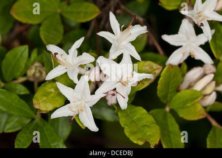 Albrecht's Azalea, Albrechts Azalea, Albrechts Azalee, Albrecht´s Azalee, Rhododendron albrechtii, Azalea albrechtii - Stock Photo