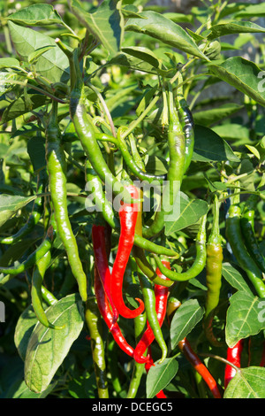 Medium - hot Turkish 'Aci Sivri' Cayenne chilli peppers (Capsicum annuum) growing outside in a UK garden. - Stock Photo