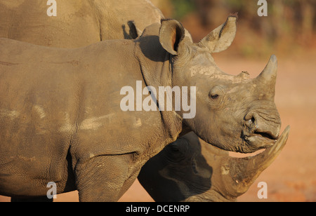white rhinoceros, female and calf, grazing in open land, portrait - Stock Photo