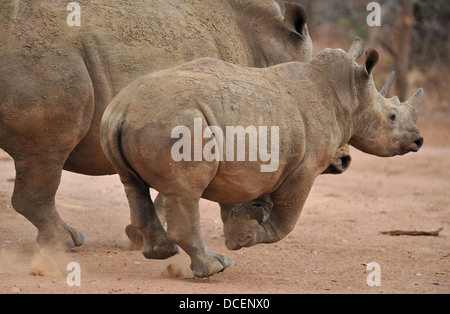young white rhinoceros running next to with his mother - Stock Photo