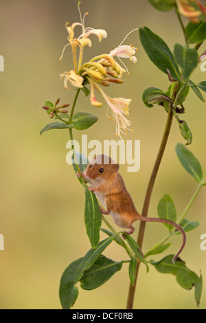 Harvest Mouse on flower - Stock Photo