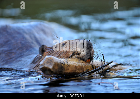 A beaver 'Castor canadenis' swimming carrying a stick in his mouth - Stock Photo