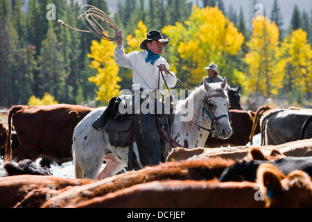 Alberta, Canada; Cowboy Herding Cattle Across River - Stock Photo