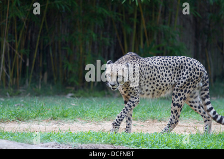 Cheetah, Acinonyx jubatus, also known as the hunting leopard  found  in eastern and southern Africa - Stock Photo