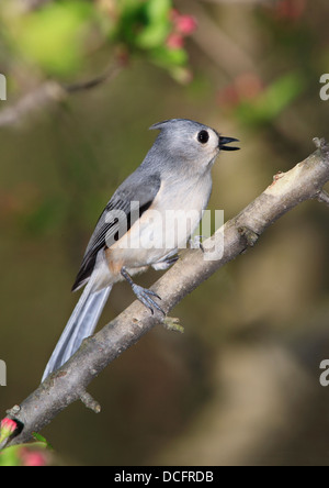 A Cute Little Bird, The Tufted Titmouse, Nicely Posing With It's Beak Open In Song, Parus bicolor - Stock Photo