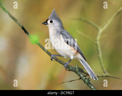 A Cute Little Bird, The Tufted Titmouse, Nicely Posing With It's Crest Raised As If For A Portrait, Parus bicolor - Stock Photo