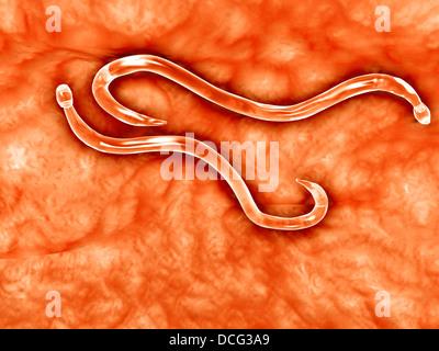Microscopic view of hookworm. - Stock Photo